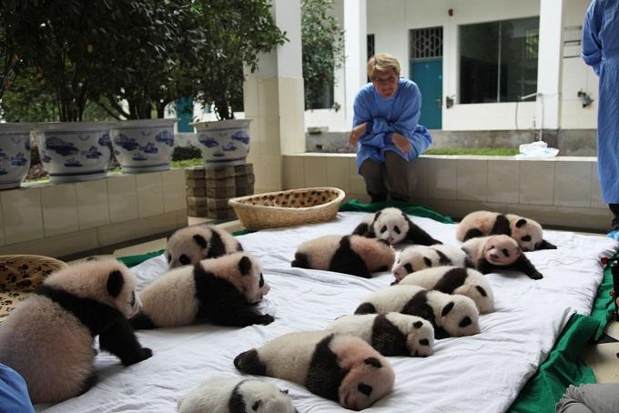 Clare Balding with the panda cubs at Ya'an Bifengxia Giant Panda base in Wolong China - Image Credit: BBC/Helen Quinn