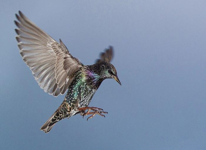 Autumnwatch 2014: Starling in Flight - Image Credit: BBC/Mark Vogel